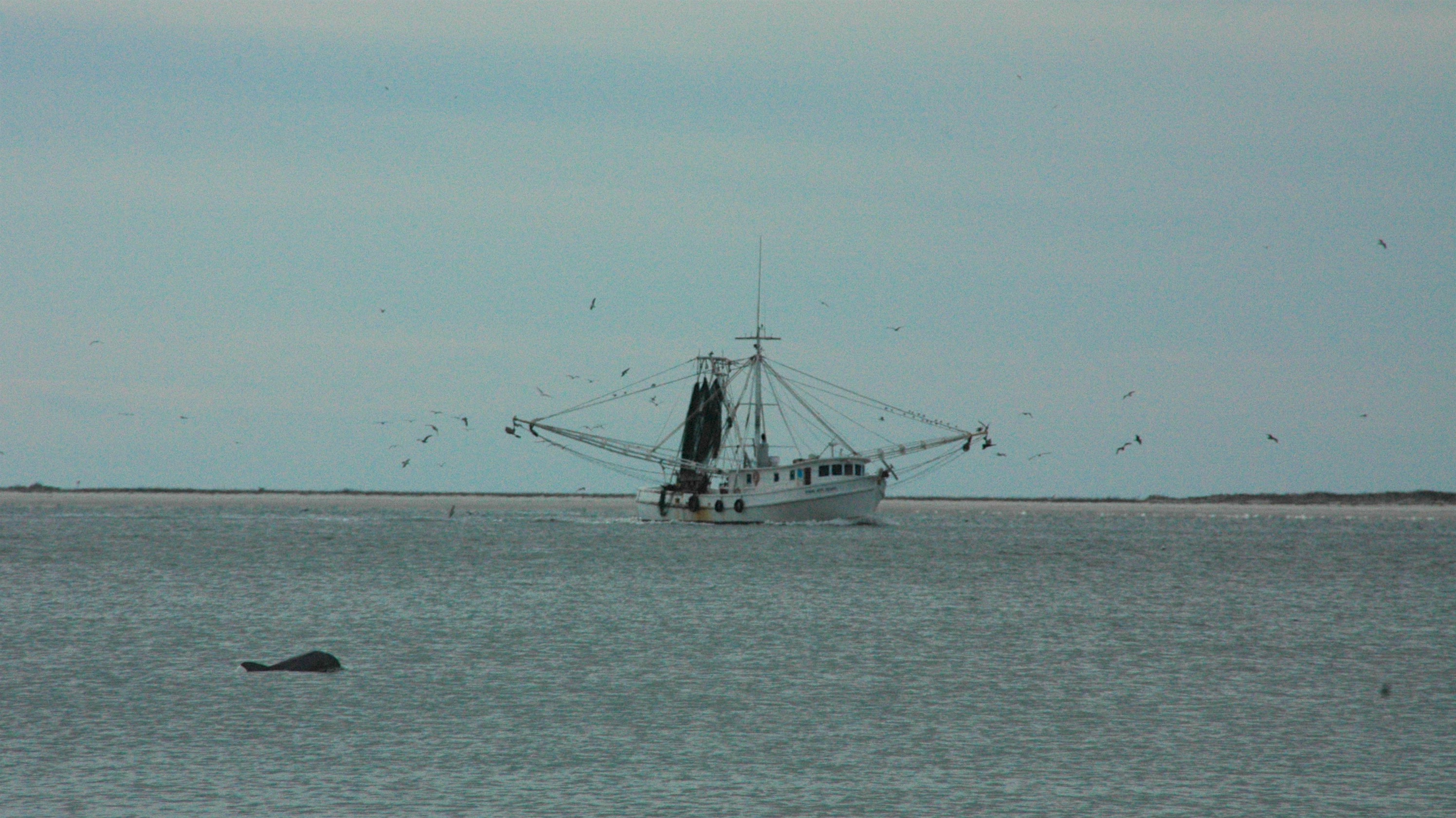 Dolphin follow a shrimp boat trolling in the river.