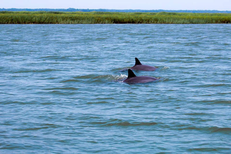 Playful dolphins can be seen in the waters around Fripp Island.