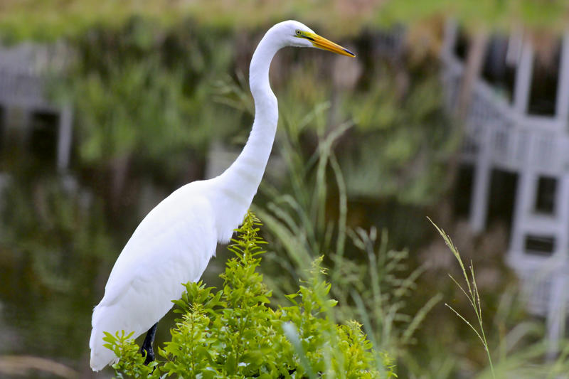 Fripp Island has been named an Important Bird Area by the Audubon Society.