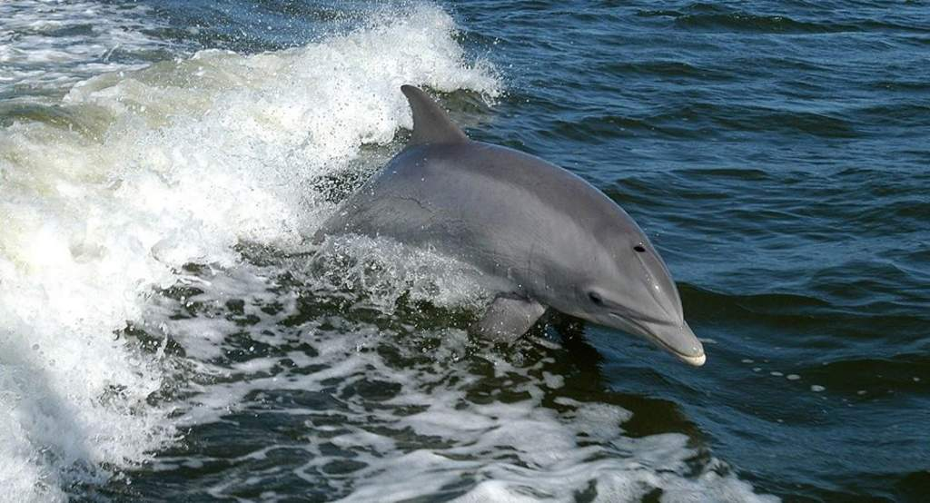 AMI Dolphin Tours are A Delight or Watch from the Pier