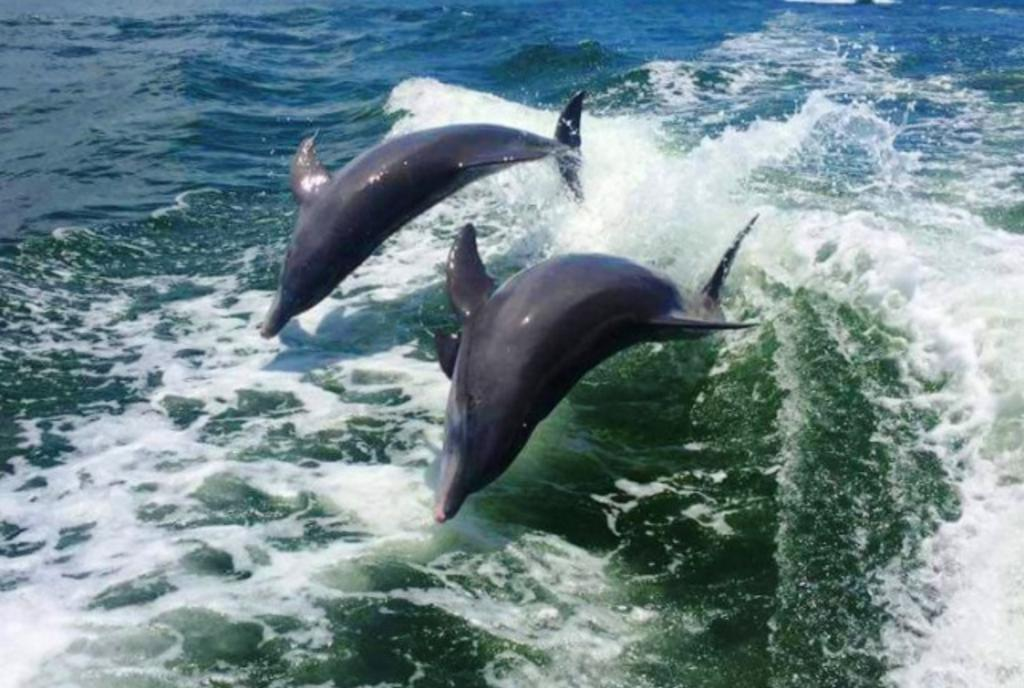 Dolphins Chasing the Wake