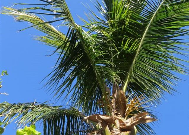 Coconut Palms - Pick Your Own Coconuts