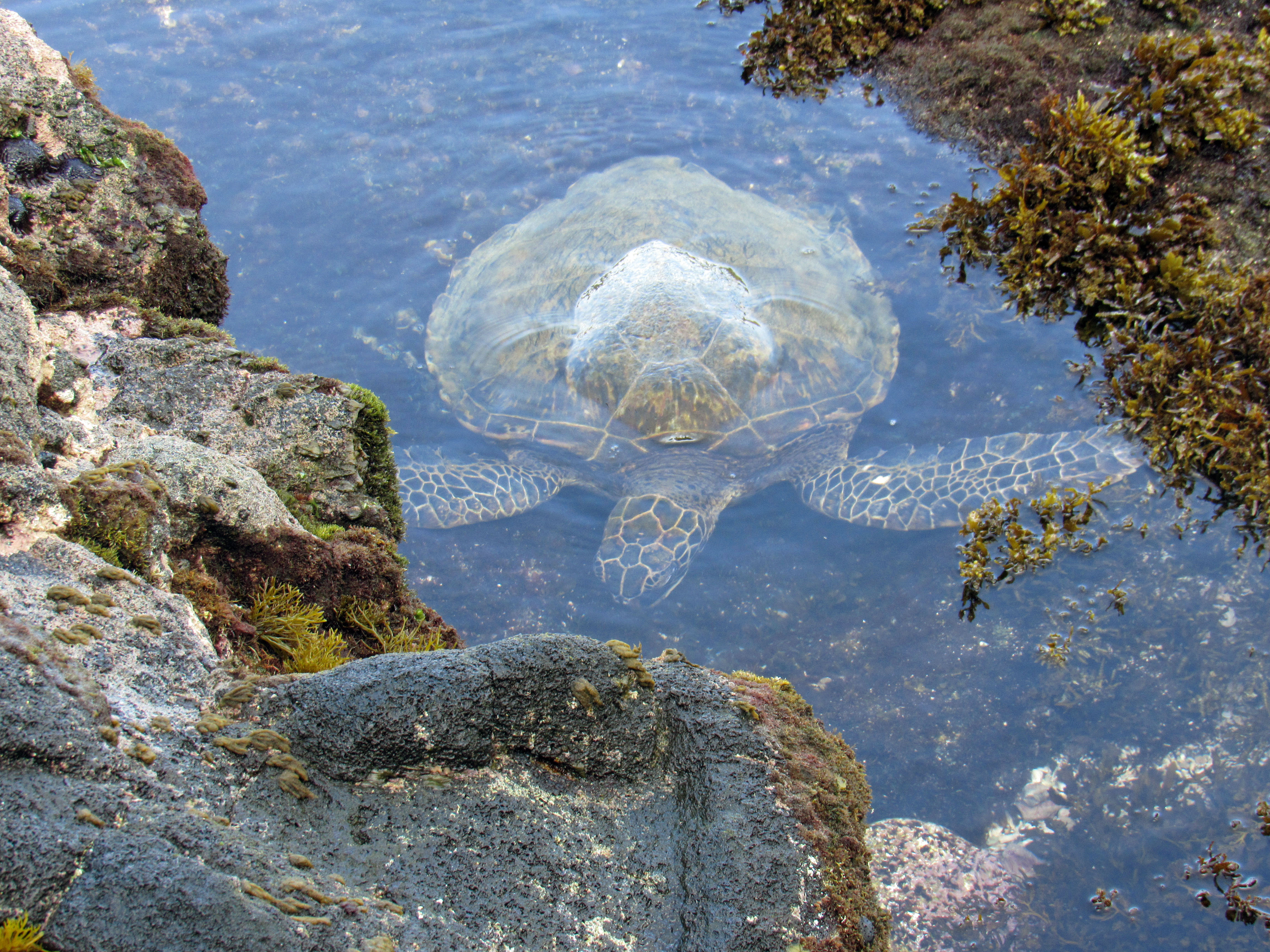 Turtles love to come eat in the tidal pools below your lanai.