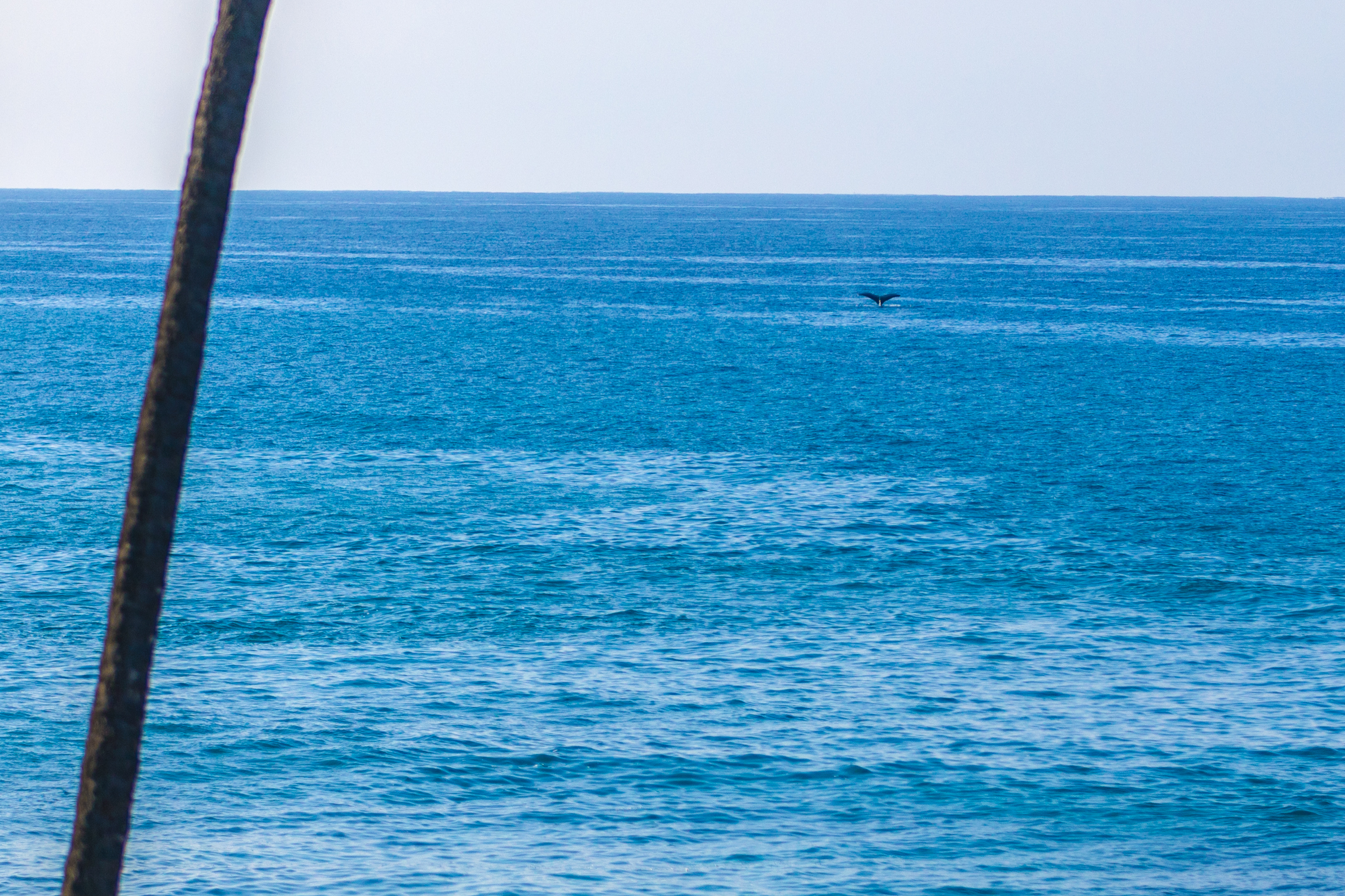 See the whale tail! Right from the lanai!