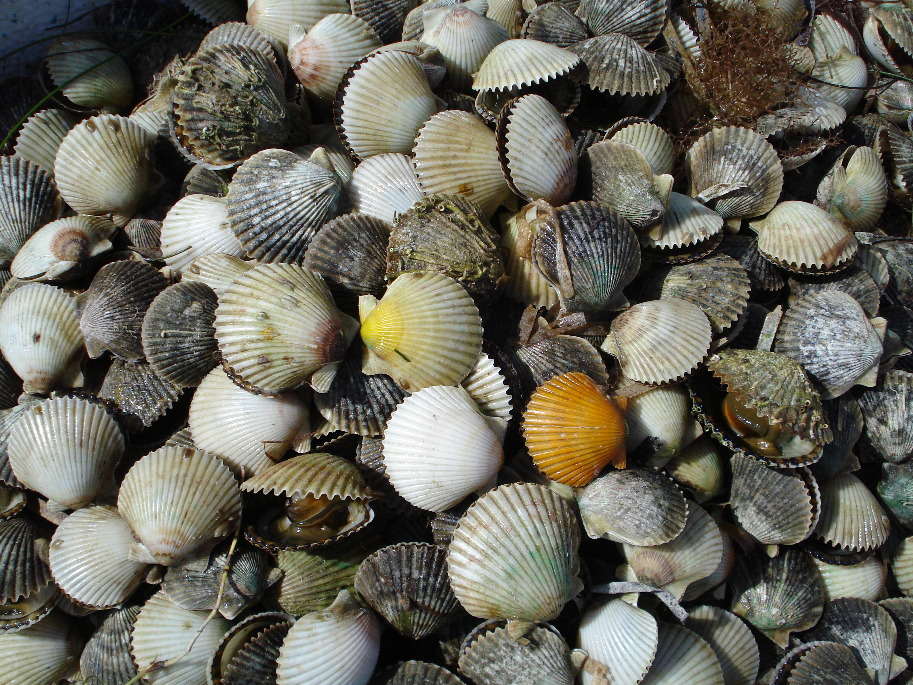 A Great day of scalloping..