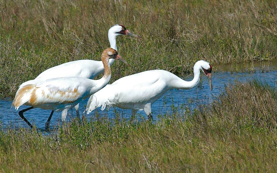 Whooping Crane Festival