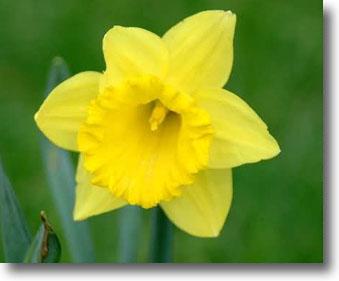 Spohr Gardens Daffodil Days